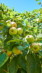Fresh apples in the garden