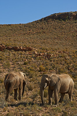 Buy stock photo Shot of two elephants in the wild