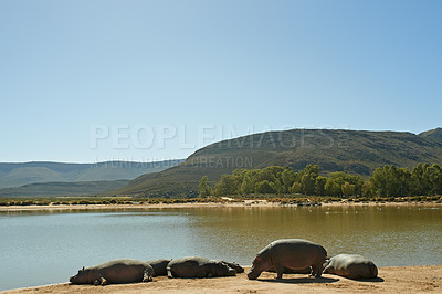 Buy stock photo Shot of a herd of hippos at the watering hole in the wild