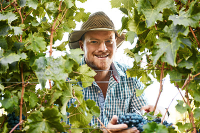 Buy stock photo Portrait of a farmer harvesting grapes