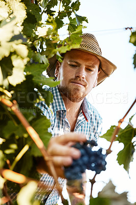 Buy stock photo Shot of a farmer harvesting grapes