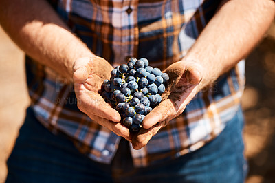 Buy stock photo Closeup shot of a man holding a bunch of grapes