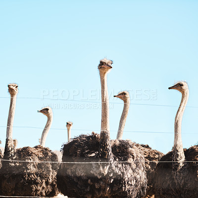 Buy stock photo Still life shot of a flock of ostriches on a farm