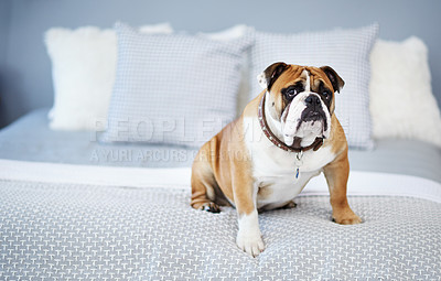 Buy stock photo Shot of an adorable dog in a bedroom at home