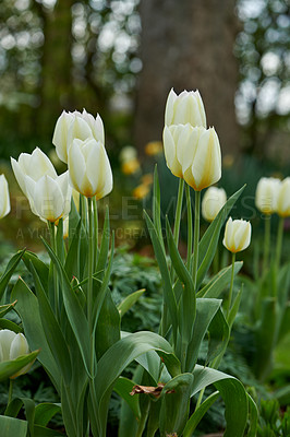 Buy stock photo Beautiful tulips in my garden in early springtime