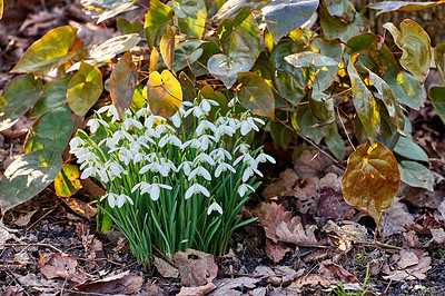 Buy stock photo Snowdrops - Galanthus is a small genus of about 20 species of bulbous herbaceous plants in the family Amaryllidaceae, subfamily Amaryllidoideae. Most flower in winter, before the vernal equinox, but certain species flower in early spring and late autumn.