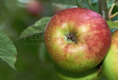 Buy stock photo Fresh apple in the tree