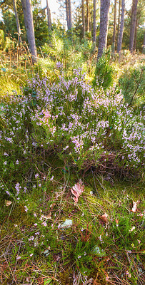 Buy stock photo Hardwood forest uncultivated - DenmarkBlooming heather in wild forest - Denmark