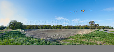 Buy stock photo A  photo of a flok of geese flying in the countryside in summertime, Denmark,
