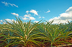 Pineapple field - Oahu, Hawaii
