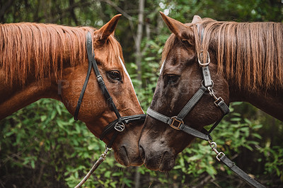 Buy stock photo Shot of two horses being affectionate with each other