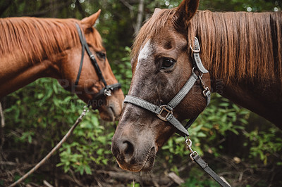 Buy stock photo Shot of two beautiful horses standing together in a forest