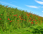 Poppies in a grain field