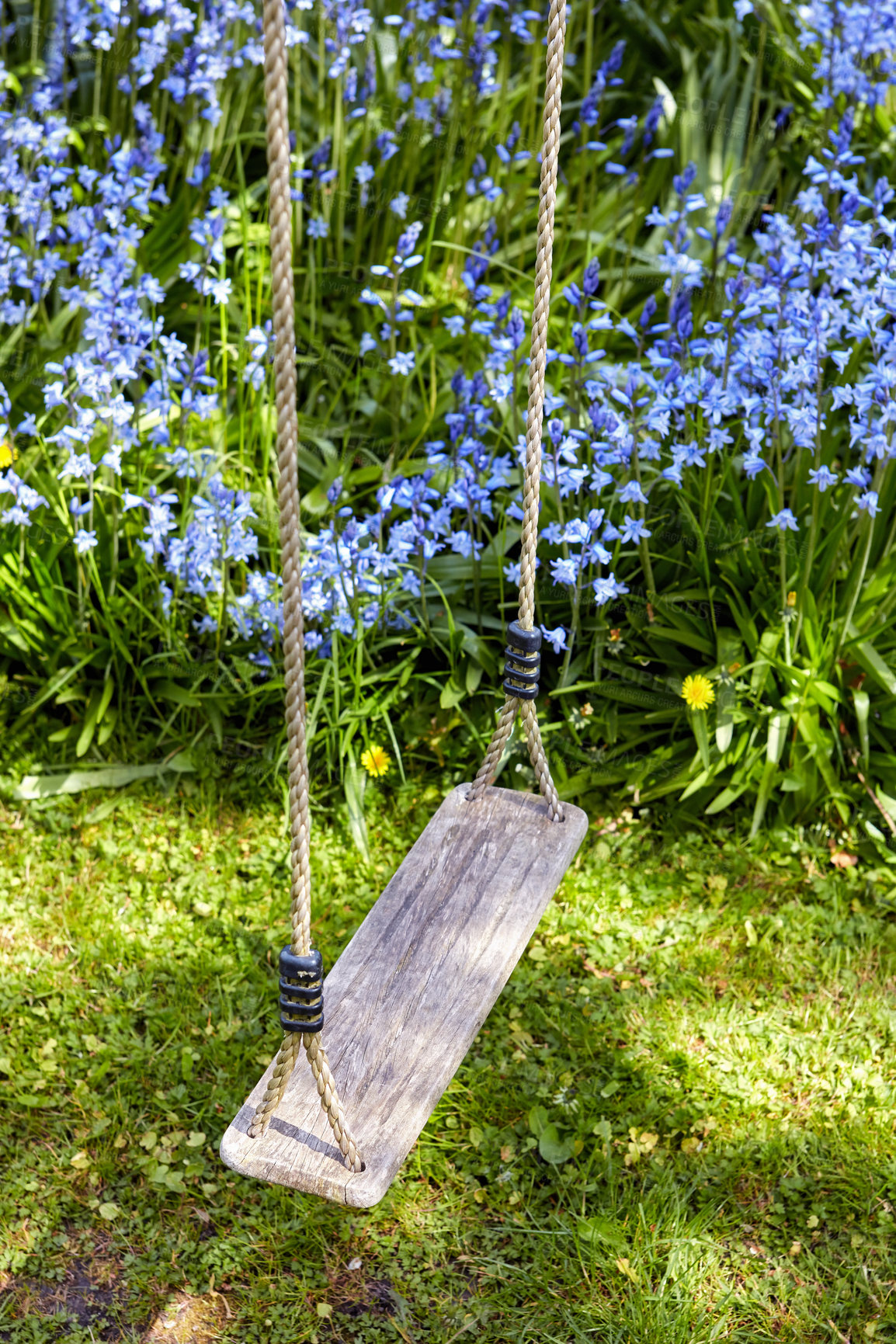 Buy stock photo Garden in blue - Bluebell - Scilla siberica, blue flowers in late spring