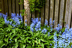 Bluebells in our informal garden
