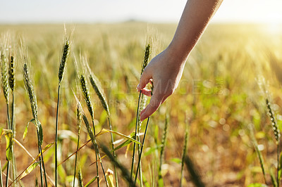 Buy stock photo Cropped shot of an unrecognizable woman touching stalks of wheat while walking through a wheat field during the day