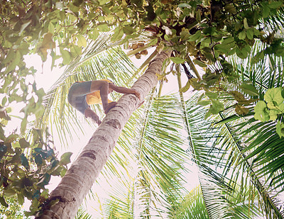 Buy stock photo Low angle shot of a young man climbing up a coconut palm tree in Raja Ampat, Indonesia