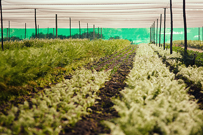 Buy stock photo Cropped shot of rows of crops inside of a greenhouse on a farm