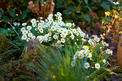 Buy stock photo Primula julian / Primrose in my garden