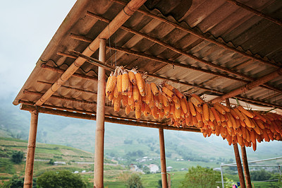Buy stock photo Shot of a row of dried corn hanging from a stall in Vietnam