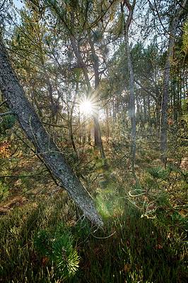 Buy stock photo A  beautiful wild pine forest in Denmark