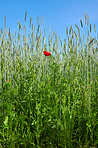 Poppies in field - Danish farmland