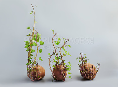 Buy stock photo Studio shot of sweet potatoes sprouting against a grey background