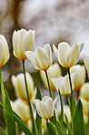 White tulips in my garden