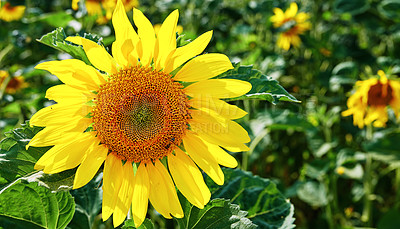 Buy stock photo Sunflowers on a sunny day