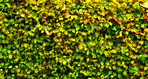 Background - hedge and leaves