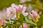 Rhododendron - garden flowers in May