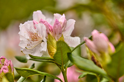 Buy stock photo Rhododendron is a genus of 1,024 species of woody plants in the heath family, either evergreen or deciduous, and found mainly in Asia, although it is also widespread throughout the Southern Highlands of the Appalachian Mountains of North America.