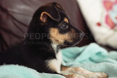 Buy stock photo Cropped shot of an adorable little puppy relaxing indoors
