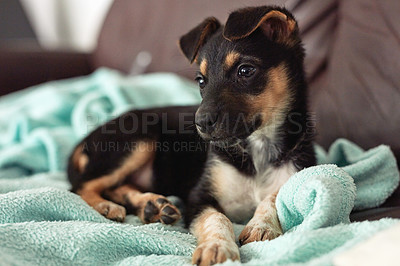 Buy stock photo Shot of an adorable little puppy relaxing indoors