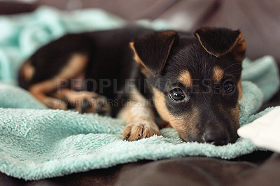 Buy stock photo Shot of an adorable little puppy snuggling on a blanket indoors