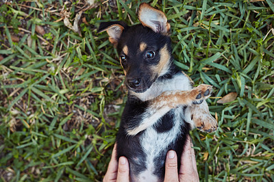 Buy stock photo Shot of an adorable little puppy laying on the grass and getting petted by it's owner outside