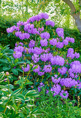 Buy stock photo A series of Purple Rhododendron in my garden