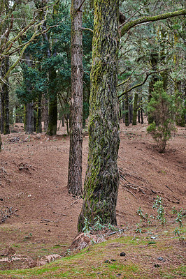 Buy stock photo Pine forests in the mountains of La Palma, Canary Islands, Spain