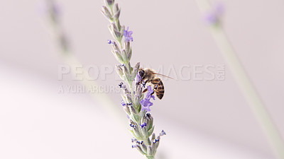 Buy stock photo Cropped shot of a bee perched on a lavender plant in a garden