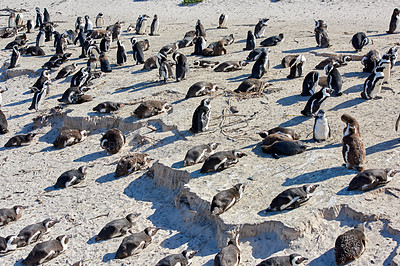 Buy stock photo Black-footed penguin at Boulders Beach,  South Africa