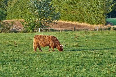 Buy stock photo A series of Highland cows