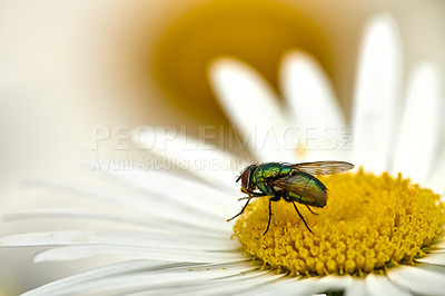 Buy stock photo The common green bottle fly is a blowfly found in most areas of the world and is the most well-known of the numerous green bottle fly species. Its body is 10–14 millimetres in length – slightly larger than a house fly – and has brilliant, metallic, blue-green or golden coloration with black markings
