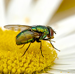 Lucilia sericata . common green bottle fly