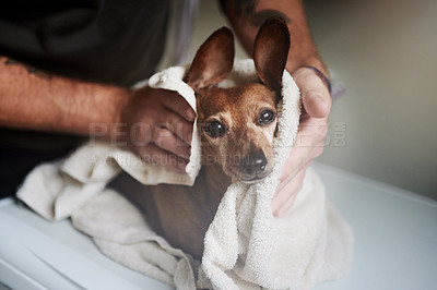 Buy stock photo Shot of an adorable dog getting dried off after a bath by his owner at home