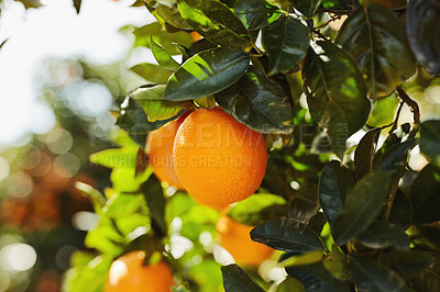 Buy stock photo Cropped shot of orange trees in an orange orchard on a bright summer's day