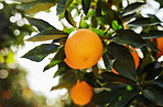This orange orchard is thriving