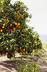 The perfect environment for oranges to grow