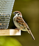Sparrow in my garden