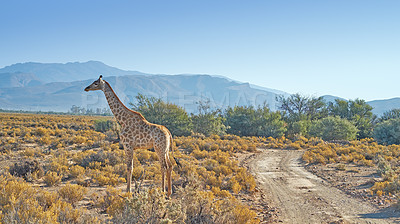 Buy stock photo A photo of a beautiful giraffe on the savanna late afternoon in South Africa