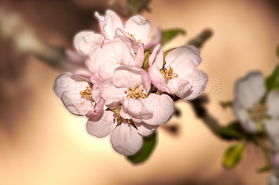Buy stock photo A series of photos of apple flower in natural setting